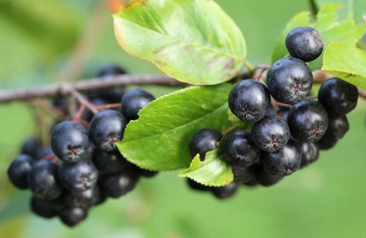plodovi aronije